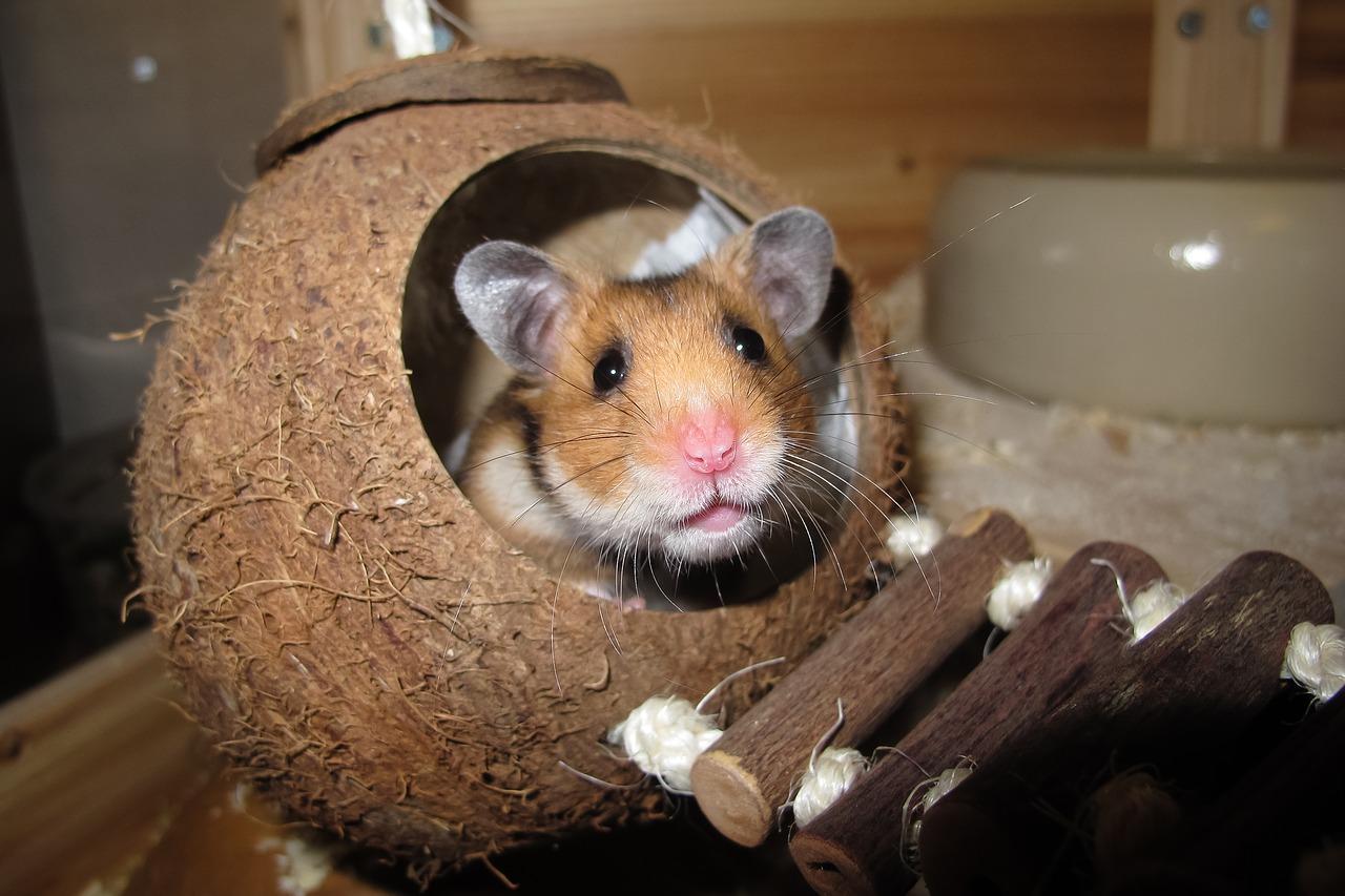 Krankheiten Hamster