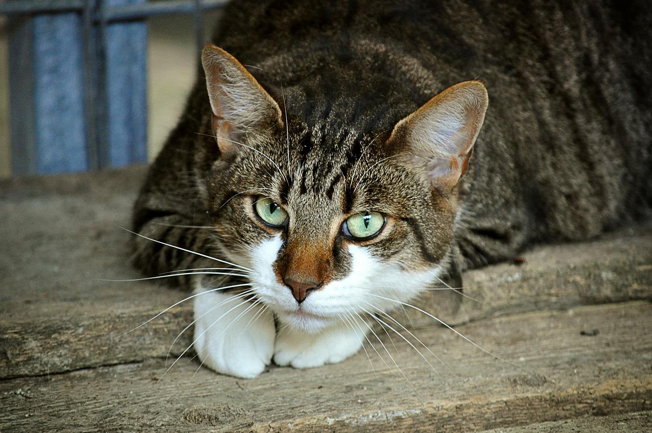 Katzenkrankheit